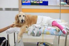 Τραυματισμένο χρυσό retriever με το ρόδινο επίδεσμο στην αναπηρική καρέκλα μετά από το S Στοκ Φωτογραφίες
