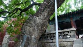 Τραχιοί κορμοί δέντρων δυνατής μπύρας & κινεζικό αρχαίο κτήριο, φυσώντας φύλλα αερακιού απόθεμα βίντεο