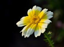 τραχούρι λουλουδιών Στοκ Εικόνα