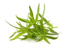 Τραχούρι που απομονώνεται σε ένα άσπρο υπόβαθρο Artemisia dracunculus Στοκ εικόνα με δικαίωμα ελεύθερης χρήσης