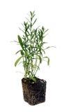 Τραχούρι & x28 Artemisia dracunculus& x29 έτοιμος για τη μεταμόσχευση η ανασκόπηση απομόνωσε το λευκό Στοκ Εικόνες