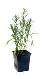 Τραχούρι & x28 Artemisia dracunculus& x29  σε ένα δοχείο η ανασκόπηση απομόνωσε το λευκό Στοκ Εικόνες