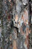Τραχύς ανώμαλος φλοιός πεύκων του δέντρου πεύκων με τα μικρά μαύρα μυρμήγκια σε το φ Στοκ εικόνες με δικαίωμα ελεύθερης χρήσης