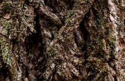 Τραχύς καταβεβλημένος βαθύς παχύς φλοιός δέντρων με την αύξηση βρύου και λειχήνων Στοκ εικόνες με δικαίωμα ελεύθερης χρήσης
