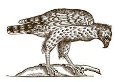 Τραχύς-με πόδια συνεδρίαση lagopus buteo καρακαξών σε έναν κλάδο ελεύθερη απεικόνιση δικαιώματος