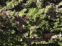 Τραχύς mossy φλοιός Στοκ εικόνες με δικαίωμα ελεύθερης χρήσης