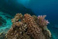 Τραχύ αγγούρι (ανανάς thelenota) στη Ερυθρά Θάλασσα. στοκ φωτογραφία