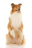 Τραχύ σκυλί κόλλεϊ Στοκ Εικόνα