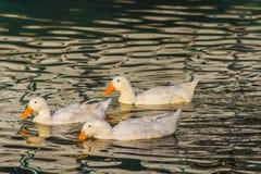 Τρεις άσπρες πάπιες που επιπλέουν σε έναν ποταμό Στοκ Φωτογραφία
