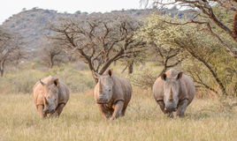 Τρεις άσπροι ρινόκεροι στο λιβάδι Στοκ Εικόνες