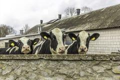 Τρεις αγελάδες, με τις κίτρινες ετικέττες προσδιορισμού στα αυτιά τους, ποια στάση πίσω από τον τοίχο πετρών Στοκ Φωτογραφίες