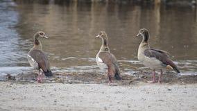 Τρεις αιγυπτιακές χήνες από την άκρη νερού ` s που στέκεται στο ρύπο Στοκ εικόνες με δικαίωμα ελεύθερης χρήσης