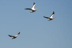 Τρεις αμερικανικοί άσπροι πελεκάνοι που πετούν σε έναν μπλε ουρανό Στοκ εικόνα με δικαίωμα ελεύθερης χρήσης