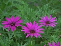 Τρεις ανθίζοντας πορφυρά ρόδινα άγρια λουλούδια στον πράσινο Μπους στοκ φωτογραφίες
