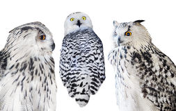 Τρεις απομονωμένες άσπρες κουκουβάγιες Στοκ εικόνες με δικαίωμα ελεύθερης χρήσης