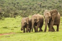 Τρεις αφρικανικοί ελέφαντες σε κίνηση Στοκ Φωτογραφίες