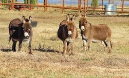 Τρεις γάιδαροι σε έναν τομέα μπροστά από συγκεντρώνουν την εξέταση σας στοκ φωτογραφία με δικαίωμα ελεύθερης χρήσης