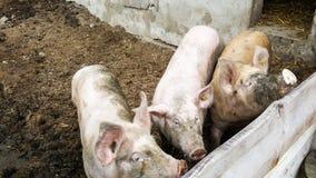 Τρεις εσωτερικοί χοίροι που κοιτάζουν πέρα από το φράκτη τους, πεινασμένο για τα τρόφιμα Στοκ φωτογραφία με δικαίωμα ελεύθερης χρήσης