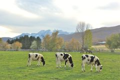 Τρεις ευτυχείς αγελάδες σε μια ευτυχή θέση Στοκ εικόνα με δικαίωμα ελεύθερης χρήσης