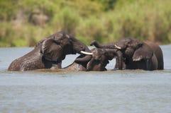 Τρεις ελέφαντες που λούζουν στο πάρκο Kruger Στοκ φωτογραφία με δικαίωμα ελεύθερης χρήσης