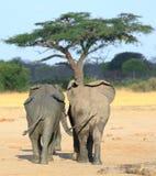 Τρεις ελέφαντες που περπατούν προς ένα δέντρο ακακιών Στοκ Εικόνες
