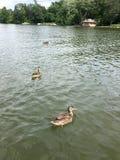 Τρεις θηλυκές πάπιες πρασινολαιμών που κολυμπούν σε μια λίμνη Στοκ Εικόνα