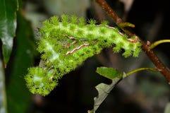 Τρεις κάμπιες IO που ταΐζουν με τα δρύινα φύλλα στοκ εικόνες