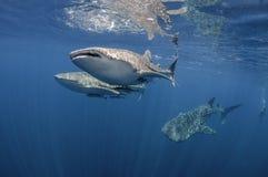 Τρεις καρχαρίες φαλαινών Στοκ εικόνα με δικαίωμα ελεύθερης χρήσης