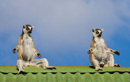 Τρεις κερκοπίθηκοι που κάθονται στη στέγη του σπιτιού στο κλίμα μπλε ουρανού Μαδαγασκάρη Στοκ φωτογραφία με δικαίωμα ελεύθερης χρήσης