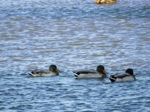 Τρεις κολυμπώντας πάπιες πρασινολαιμών στοκ φωτογραφία με δικαίωμα ελεύθερης χρήσης