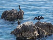 Τρεις κορμοράνοι κάθονται στους βράχους στην αδριατική θάλασσα πλησίον στην ακτή της Κροατίας Στοκ Φωτογραφίες