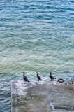 Τρεις κορμοράνοι, Phalacrocorax SP, που στηρίζονται στη συγκεκριμένη υποστήριξη, λιμάνι άνθρακα, Βανκούβερ, Βρετανική Κολομβία στοκ εικόνα με δικαίωμα ελεύθερης χρήσης