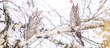 Τρεις κουκουβάγιες που κάθονται κατά τη διάρκεια χιονοπτώσεων σε ένα δέντρο στοκ εικόνες με δικαίωμα ελεύθερης χρήσης