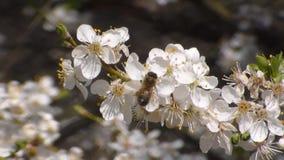 Τρεις μέλισσες συλλέγουν το νέκταρ στα λουλούδια του άσπρου ανθίζοντας μήλου Anthophila, mellifera Apis απόθεμα βίντεο