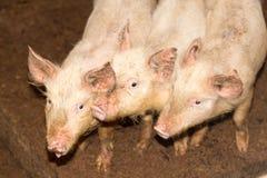 Τρεις μικροί χοίροι στο αγρόκτημα Στοκ Εικόνες