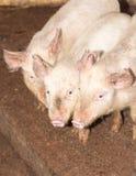 Τρεις μικροί χοίροι στο αγρόκτημα Στοκ φωτογραφία με δικαίωμα ελεύθερης χρήσης