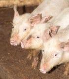 Τρεις μικροί χοίροι στο αγρόκτημα Στοκ εικόνα με δικαίωμα ελεύθερης χρήσης