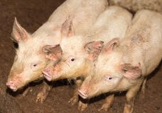 Τρεις μικροί χοίροι στο αγρόκτημα Στοκ Φωτογραφίες