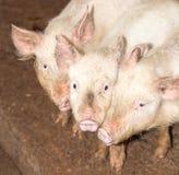 Τρεις μικροί χοίροι στο αγρόκτημα Στοκ εικόνες με δικαίωμα ελεύθερης χρήσης
