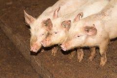 Τρεις μικροί χοίροι στο αγρόκτημα Στοκ φωτογραφίες με δικαίωμα ελεύθερης χρήσης