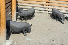 Τρεις μικροί χοίροι black†'περπατούν συγκεντρώνουν Στοκ Εικόνες