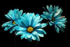 Τρεις μπλε μαργαρίτες Στοκ εικόνες με δικαίωμα ελεύθερης χρήσης