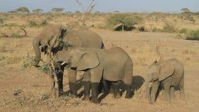 Τρεις νέοι ελέφαντες που τρώνε τα υπολείμματα των φύλλων μιας ξηράς σπασμένης ακακίας απόθεμα βίντεο