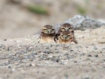 Τρεις νεανικές κουκουβάγιες Burrowing Στοκ Εικόνες