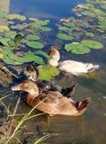Τρεις νεοσσοί κολυμπούν μεταξύ του Lilypads στοκ φωτογραφίες