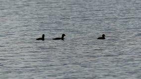 Τρεις νεοσσοί κολυμπούν σε μια επιφάνεια λιμνών το βράδυ στην slo-Mo απόθεμα βίντεο