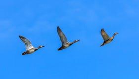 Τρεις πάπιες που πετούν σε μια σειρά Στοκ φωτογραφία με δικαίωμα ελεύθερης χρήσης