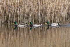 Τρεις πάπιες πρασινολαιμών Στοκ εικόνα με δικαίωμα ελεύθερης χρήσης