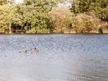 Τρεις πρασινολαίμες ένα θηλυκό αρσενικό δύο που κολυμπούν στην επιφάνεια λιμνών στο s Στοκ Εικόνες
