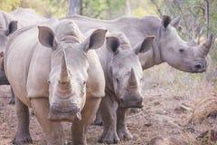 Τρεις ρινόκεροι Στοκ Φωτογραφίες